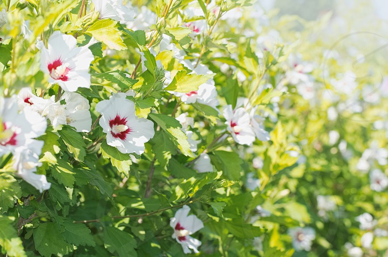 White Hibiscus Syriacus Flowers Wall on a Sunny Day photo