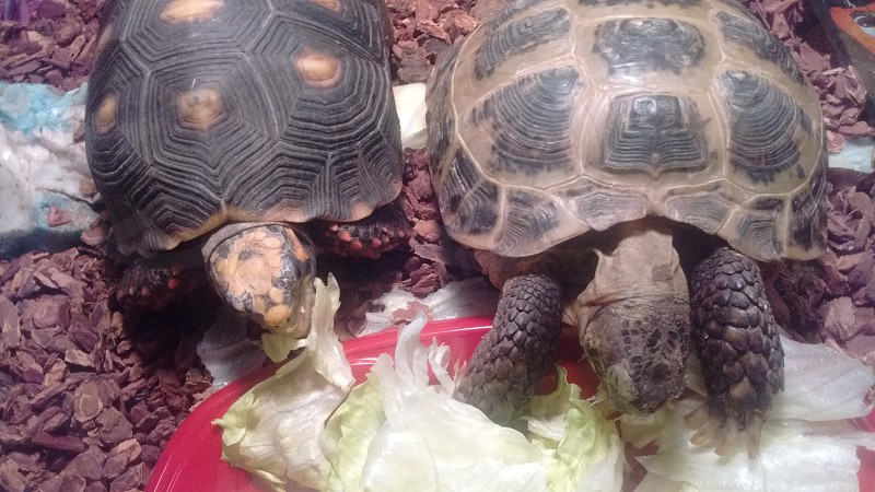 tortoise pals eating lunch photo