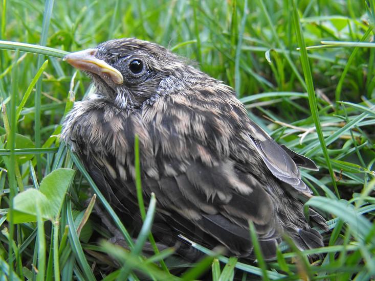 baby bird grumpy bird brown bird photo
