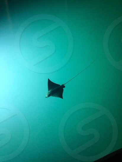Spotted a stingray in the Bahamas!  photo