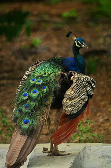 This Peafowl Bird was Captured by me in natural Beauty A nature 's wonder for all nature lovers. photo