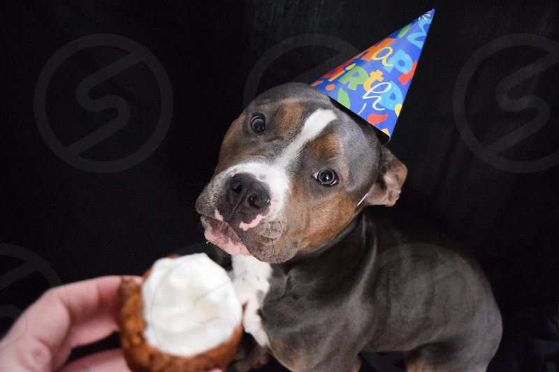 black brown and white american pitbull terrier puppy wearing birthday hat looking person with cupcake on hand photo
