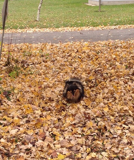 Pomeranian Pets Autumn Leaves Dog Fall  photo