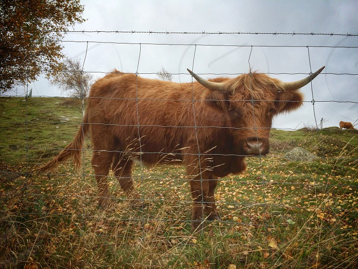 Highland cattle cow grass fence field nature autumn fall leafs  photo