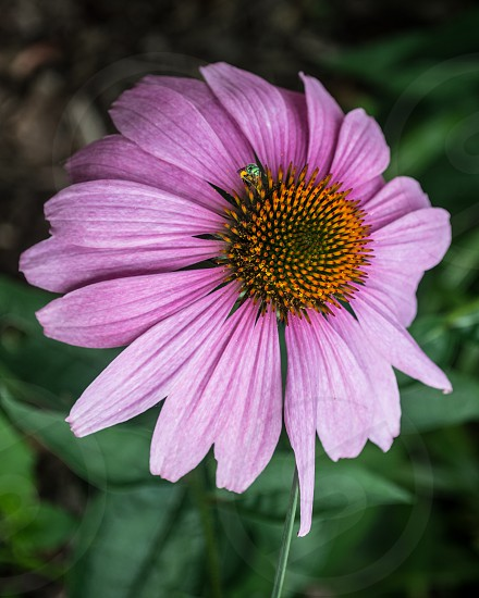 flower insect close up purple photo