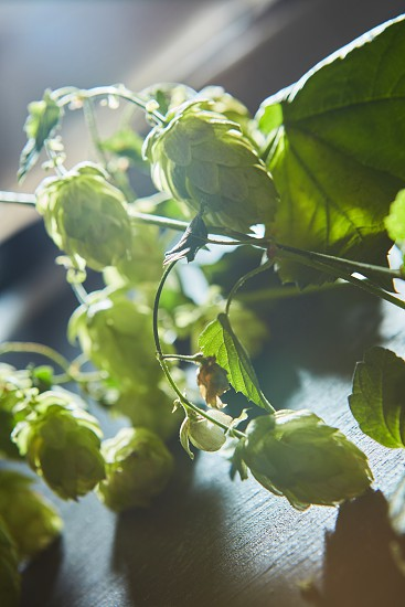 Ripe Hop cones on bush with green leaves. Fresh herbal ingredient for beer production. Selective focus photo