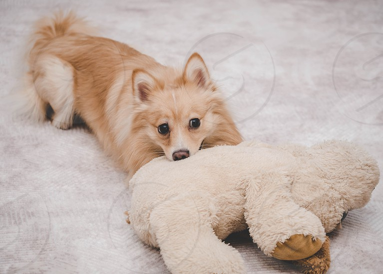 Orange pomeranian dog playing with his soft toy at home. Funny puppy. photo