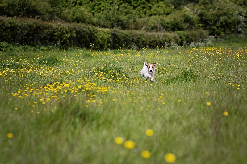 dog running yellow flowers field of flowers little dog happy dog white dog holiday summer nature dandelions photo