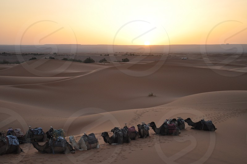 What a wonderful view of camels in the Moroccan Sahara.  photo