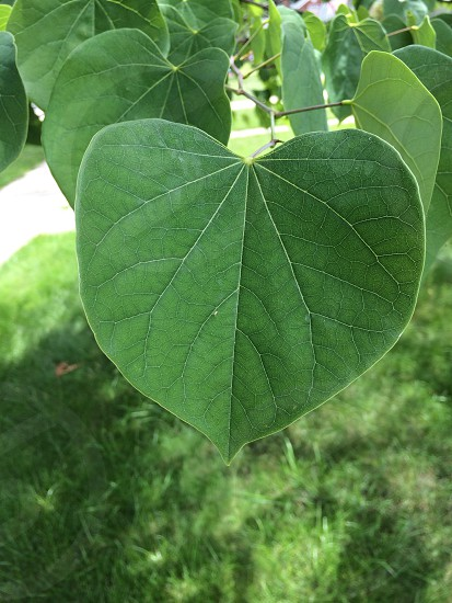 Red bud leaf in Michigan photo