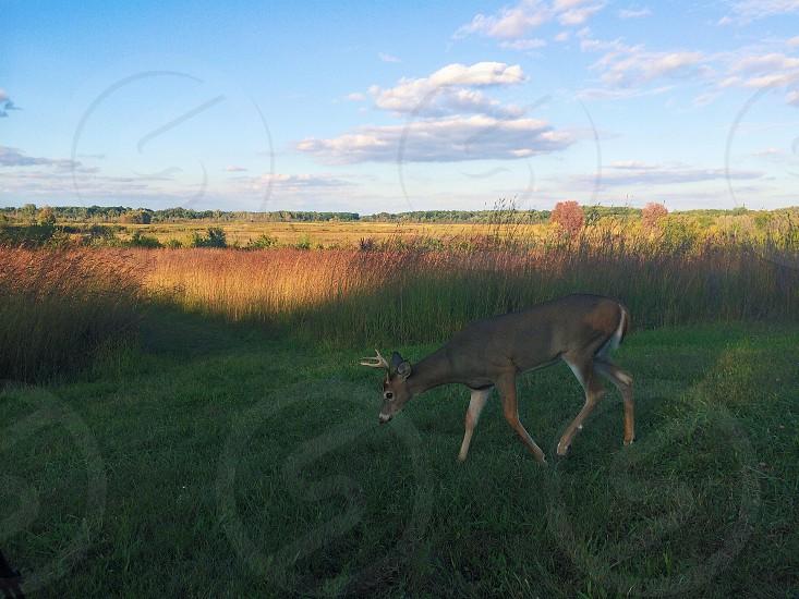 Nature • whitetail • deer • outdoors • wildlife • hunting • fishing • Pure Michigan • Michigan • field • autumn • fall • colors photo