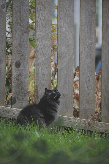 black long furred cat photo