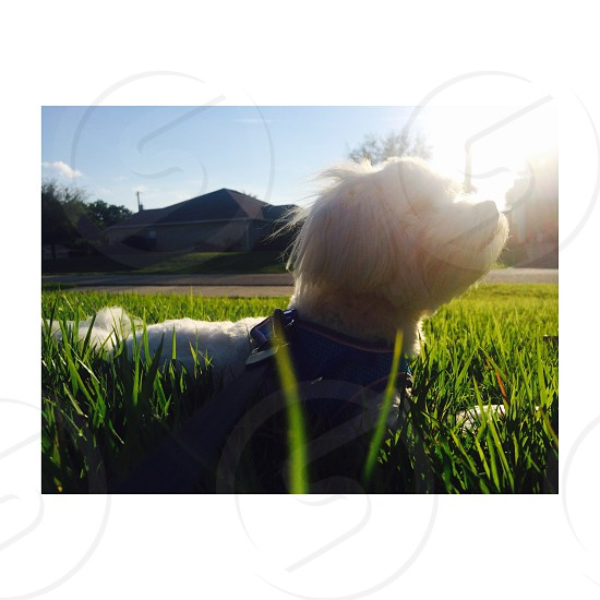 white long haired small dog with blue harness on green lawn photo