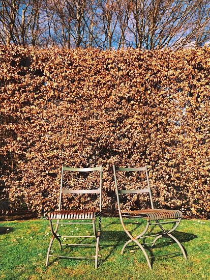 Beech hedge in winter Melbourne Victoria Australia  photo
