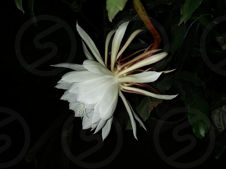 Night Blooming Jasmine Flower photo