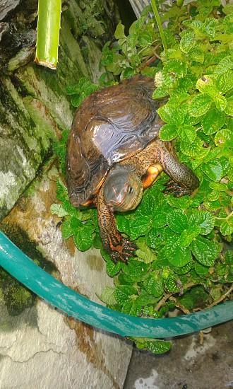 Garden Turtle photo