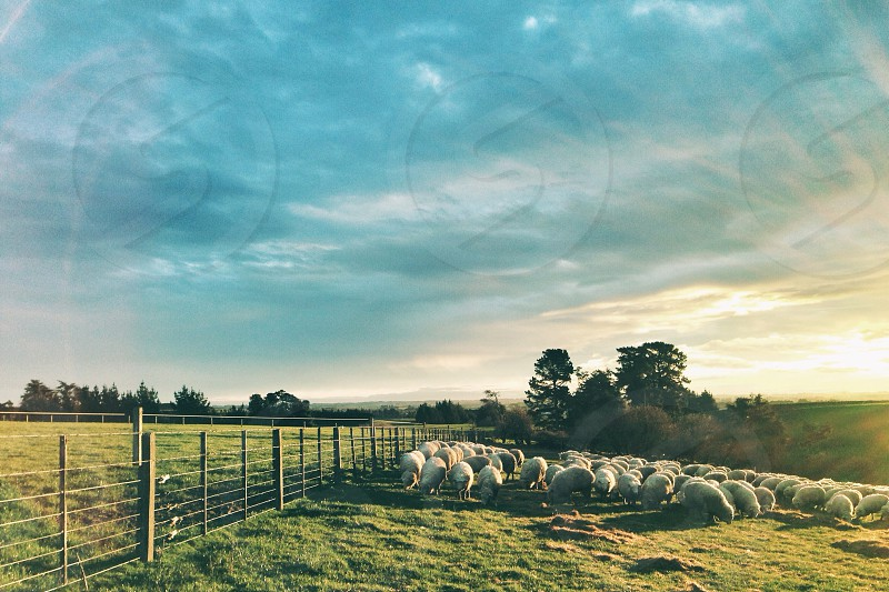 Sheep at Sunset. Wyndham Southland New Zealand. photo
