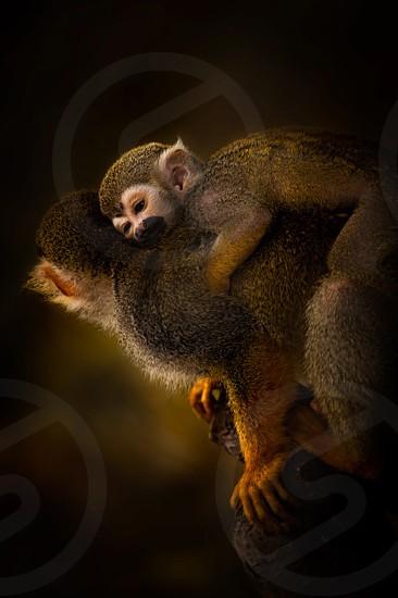 Monkey spider spider monkey mom son animal wild wilderness hug love baby mother and son back climb zoo monkeys spider monkeys spidermonkey family photo
