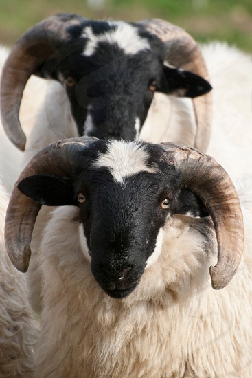 2 white and black rams photo
