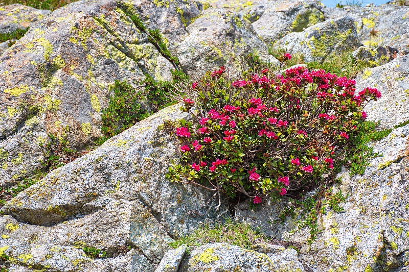 Closeup shot of rhododendron growing among the rocks in Brenta Dolomites photo