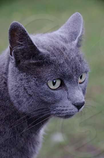 russian blues cat photo
