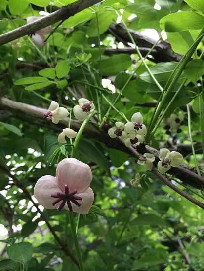 アケビの花(Flower of Chocolate vine) photo