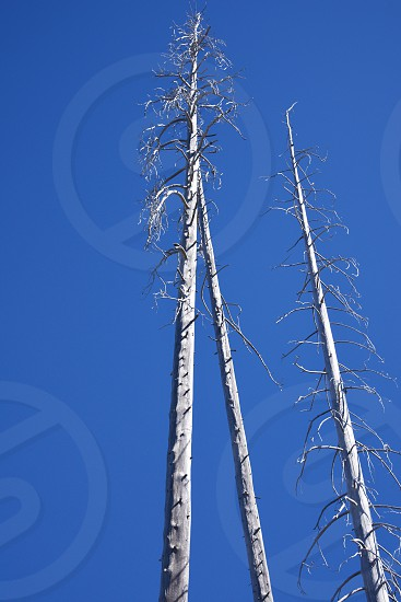 skeletal trees standing in a blue sky photo