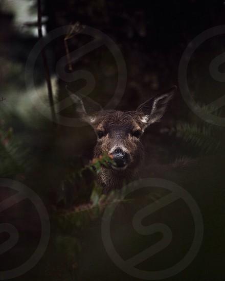 brown dik-dik animal photo