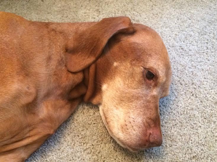 brown short haired medium sized dog photo