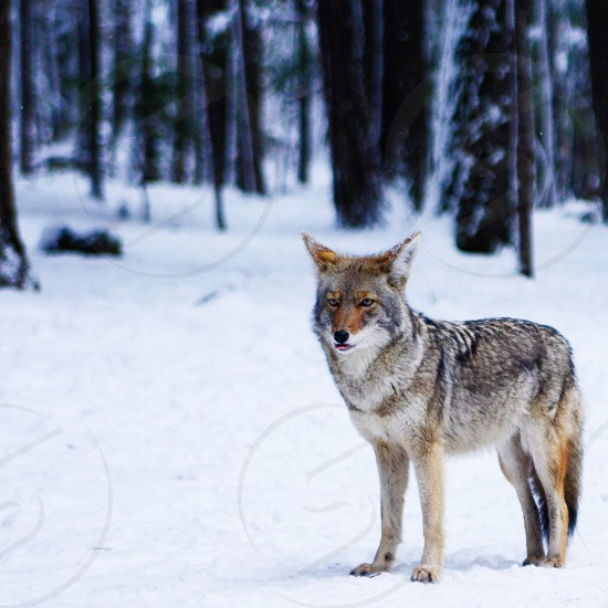 brown and gray wolf on snow covered field with trees background during daytime photo