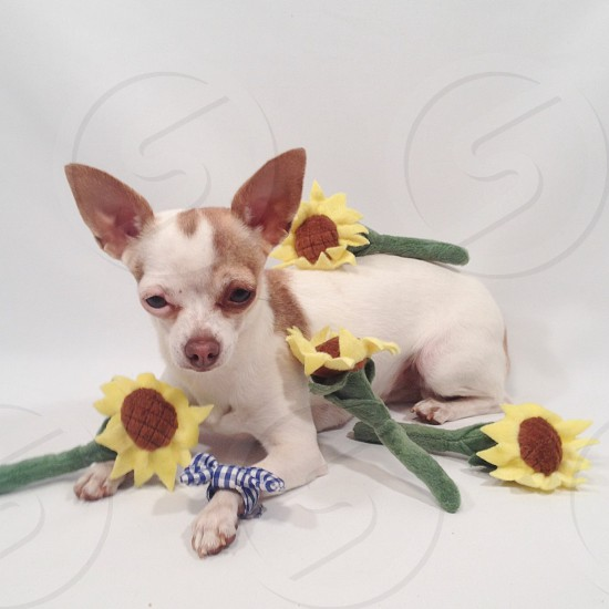 brown and white chihuahua with sun flower plush toy on white textile photo