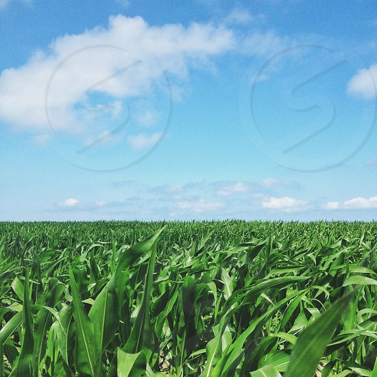 green corn fields photo