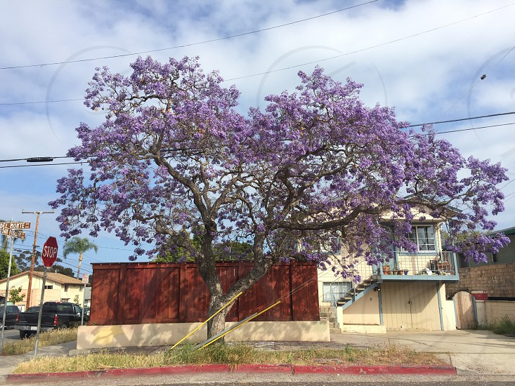 tall tree with purple flower during daytime photo