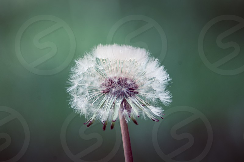 Dandilion flower nature wildlife green plants earth photo