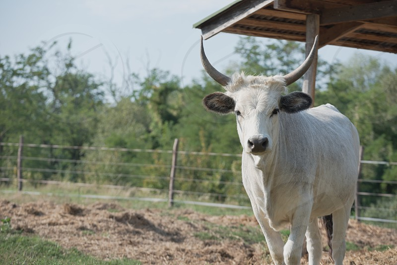 Hungarian Grey Cattle on the Farm on a Sunny Summer Day photo