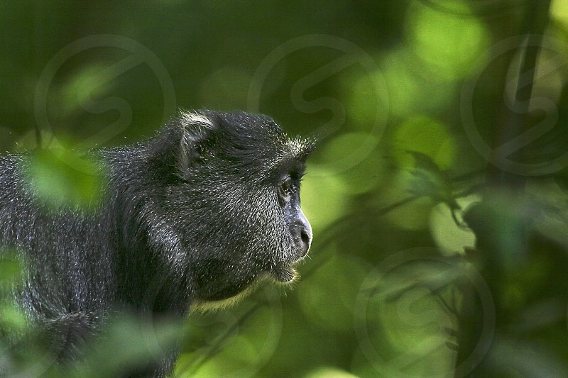 Blue monkey in the forest of Africa photo