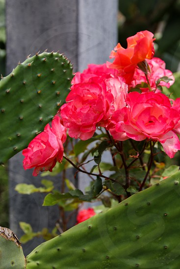 Roses and cactus photo