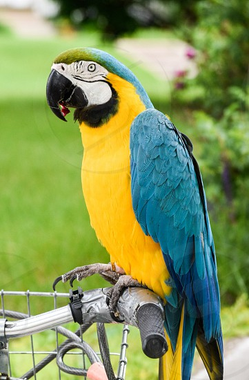 macaw bird perched on bicycle hand grip photo