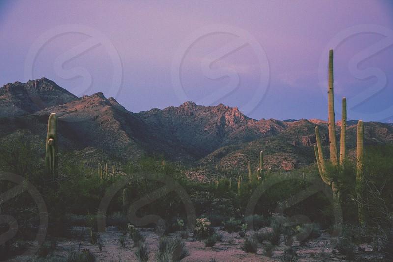 Arizona Cactus photo