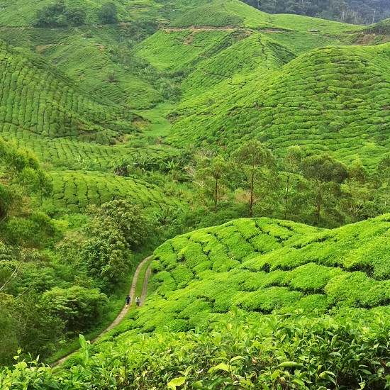 mountain slopes covered with tea plants photo