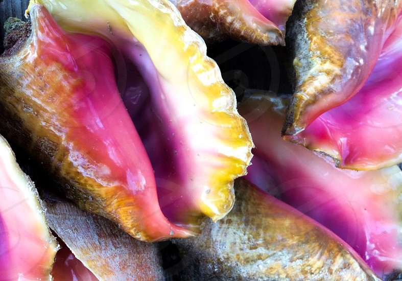 Conch shells. photo