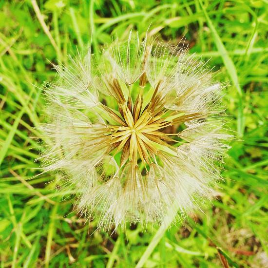 photo of dandelion photo