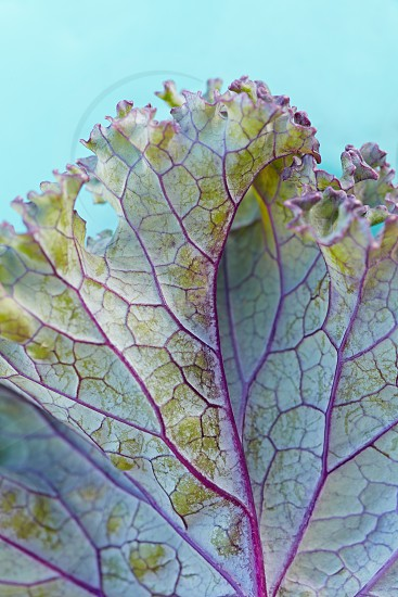 Details of a leaf of purple kale shot with a macro lens.  photo