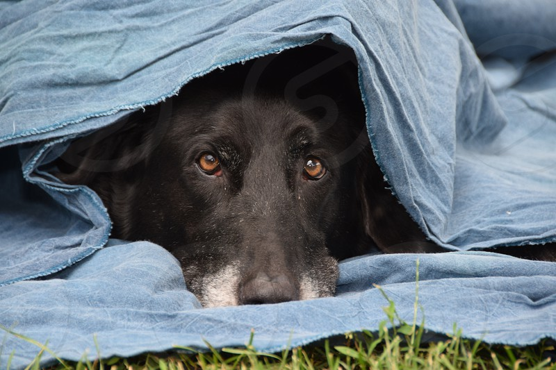 Playful Pets: Shy senior Lab mix hiding under my backdrop  photo