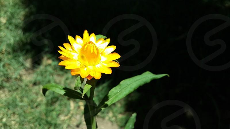 Yellow flower from deep nature  took it in El-Montazah Alexandria - Egypt photo