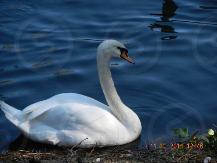 Swan лебедь photo