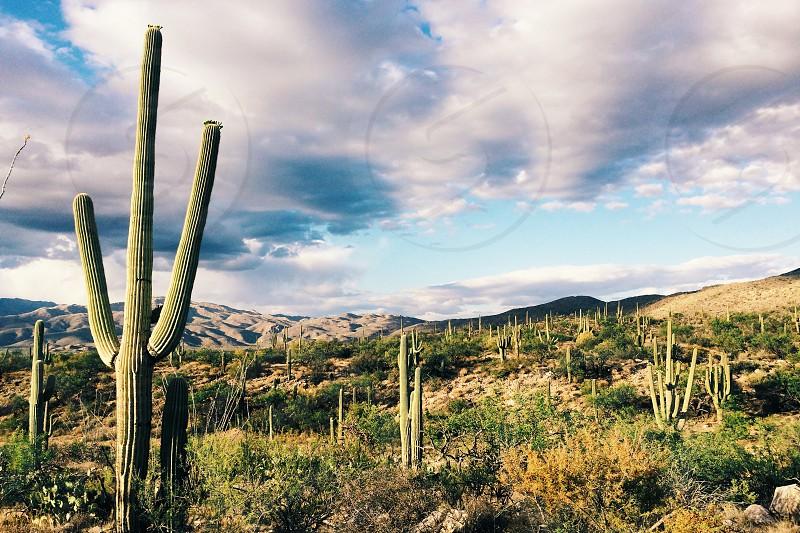 Saguaro Cactus Arizona photo