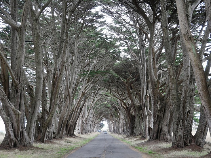 Cyprus tree tunnel in Point Reyes California photo