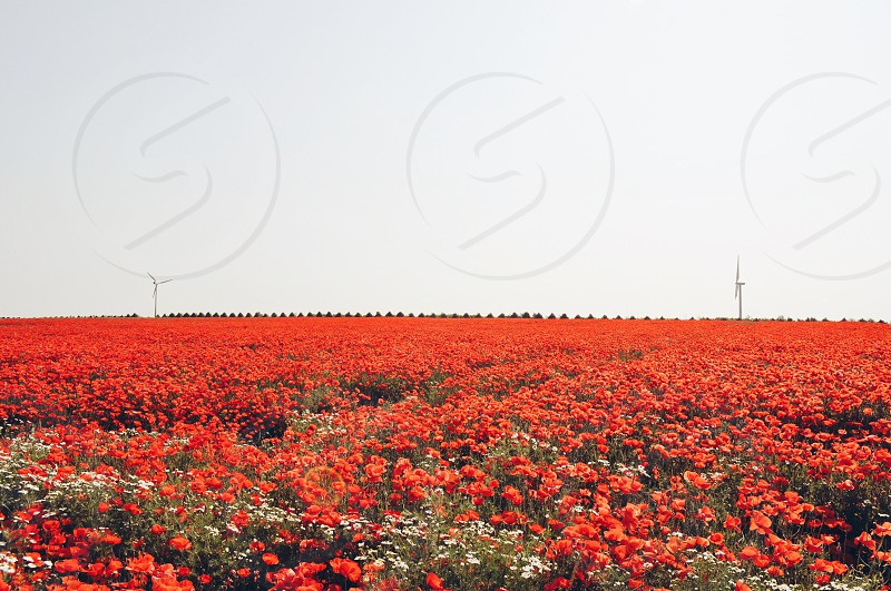 red flower field nature photography photo