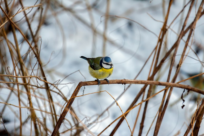 Blue Tit (cyanistes caeruleus) perching on a twig photo